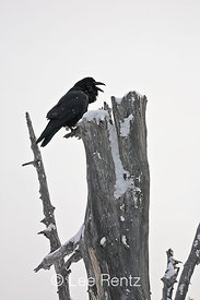 Common Raven (Corvus corax) calling from a dead tree on Hurricane Ridge, Olympic National Park, Olympic Peninsula, Washington, USA, March, 2009_WA_8152