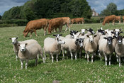 Limousin cattle and sheep grazing in same field, North Yorkshire, UK.