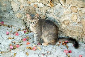 greek cat, pefkos, lindos, rhodes, dodecanese islands, Greece.