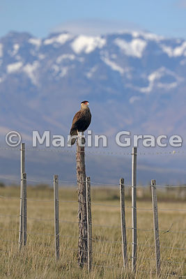 Southern Crested Caracara (Southern Caracara, Carancho) (Caracara plancus) standing on a fence, Patagonia, Chile