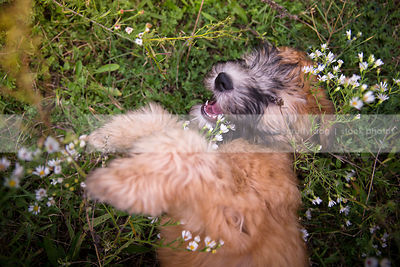 cute little tan wheaten puppy looking upward playing lying in flowers