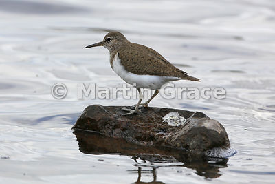 Common Sandpiper (Actitis hypoleucos) standing on a rock having just defaecated,  Lochindorb, Inverness-shire, Scotland: Image 3 of 4
