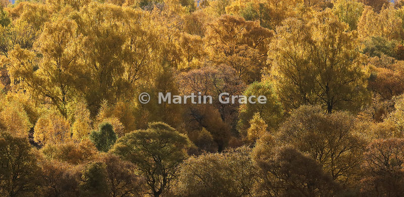 Autumnal birch trees glowing pure gold in late afternoon sunlight, Badenoch, Scottish Highlands