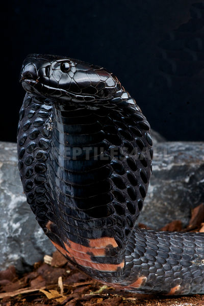 Black spitting cobra / Naja nigricollis photos