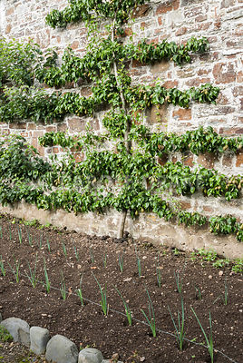 Espaliered pear tree with young leeks in front. Clovelly Court, Bideford, Devon, UK