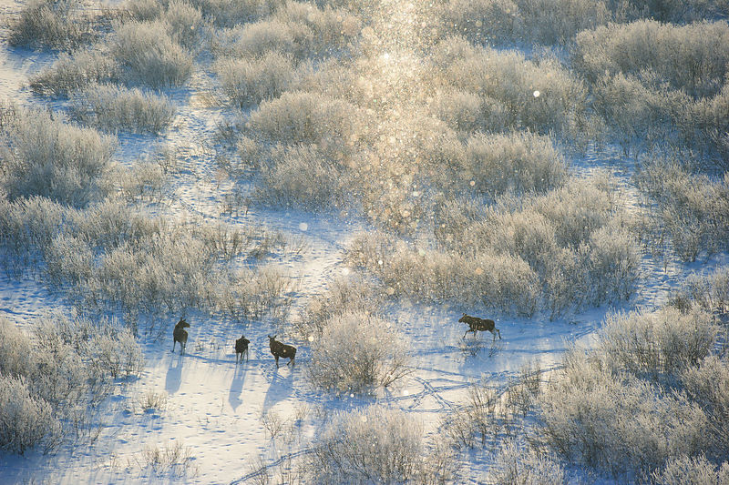 Moose (Alces alces) herd on a cold -18 C morning amongst frozen willow bushes, with snow, in Tartumaa, Estonia. January. Highly commended in the Mammals category of the GDT competition 2013.