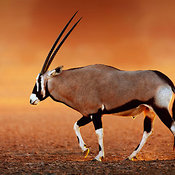 Gemsbok  on  desert plains at sunset