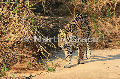 Female Jaguar 'Hunter' (Panthera onca), Three Brothers River, Northern Pantanal, Mato Grosso, Brazil. Image 36 of 62; elapsed time 48mins