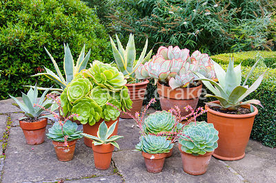 Group of terracotta pots with succulents including echeverias, agaves and Cotyledon orbiculata