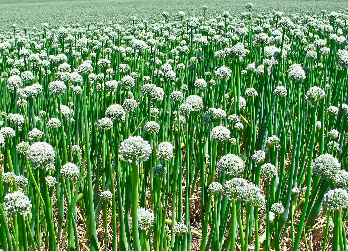 Martin's onion fields