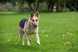 German Shepherd Dog Running on Grass