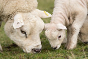 Texel ewe and young lamb grazing in pasture, North Yorkshire, UK.
