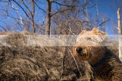 closeup headshot of airedale terrier in sunshine