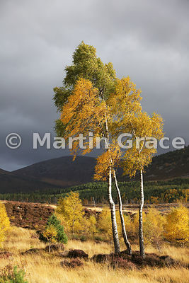 Sunlit autumnal birch trees (Betula sp) in Glen Feshie, Badenoch & Strathspey, Inverness-shire, Scotland