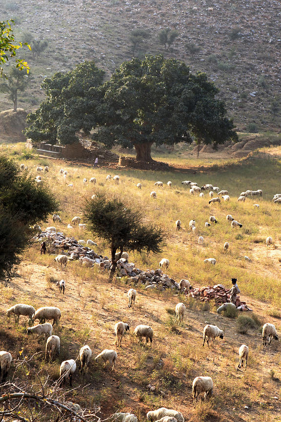 Sheep herders graze their animals in the desert near Kharekhari village, Rajasthan, India. In the distance is a massive ancient fig tree.
