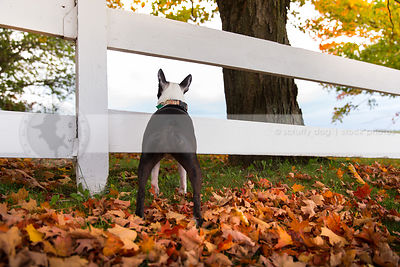 black and white dog from behind standing at fence in autumn