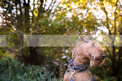 portrait of bearded airedale dog looking away in natural setting