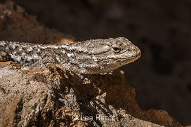 Western Fence Lizard in John Day Fossil Beds National Monument