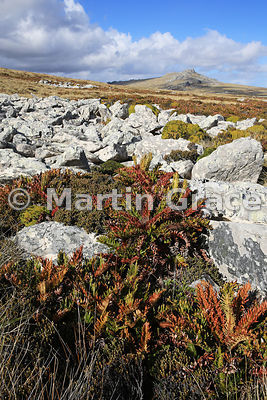 Tall Fern (Blechnum magellanicum) growing in Diddle-Dee (Empetrum rubrum) with Harriet Mountain behind, East Falkland, Falkland Islands