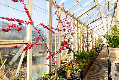 Trained peaches flowering on bare wood in glasshouses at Forde Abbey in April
