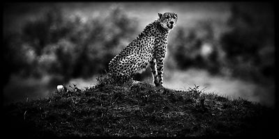 Cheetah alone in the bush © Laurent Baheux