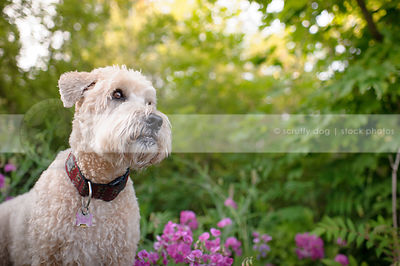 portrait of alert terrier dog in garden flowers