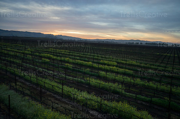 Early morning aerial photo before the sunrise in a Napa Valley vineyard
