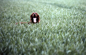 Irish red setter in field of barley