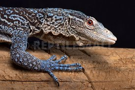 Blue tree monitor (Varanus macraei)