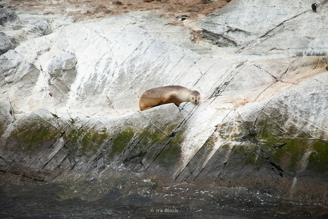 A Seal found on the island of Beagle Channel in Argentina.