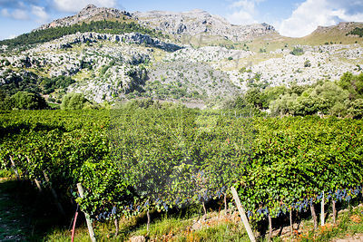 Cabernet grapes growing on vine, Tramuntana Mountains, .Mallorca