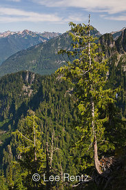Nearby peaks in the Cascade Mountains viewed from Mt. Forgotten Meadows with an Alaska Yellow Cedar (aka Nootka Cypress) (Callitropsis nootkatensis), Mt. Baker-Snoqualmie National Forest, Cascade Mountains, Washington, USA, August, 2008_WA_4606