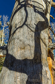 Trembling Aspen Shadow Crossing a Dead Tree in Great Basin National Park