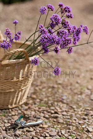 Cut Verbena bonariensis in wicker trug