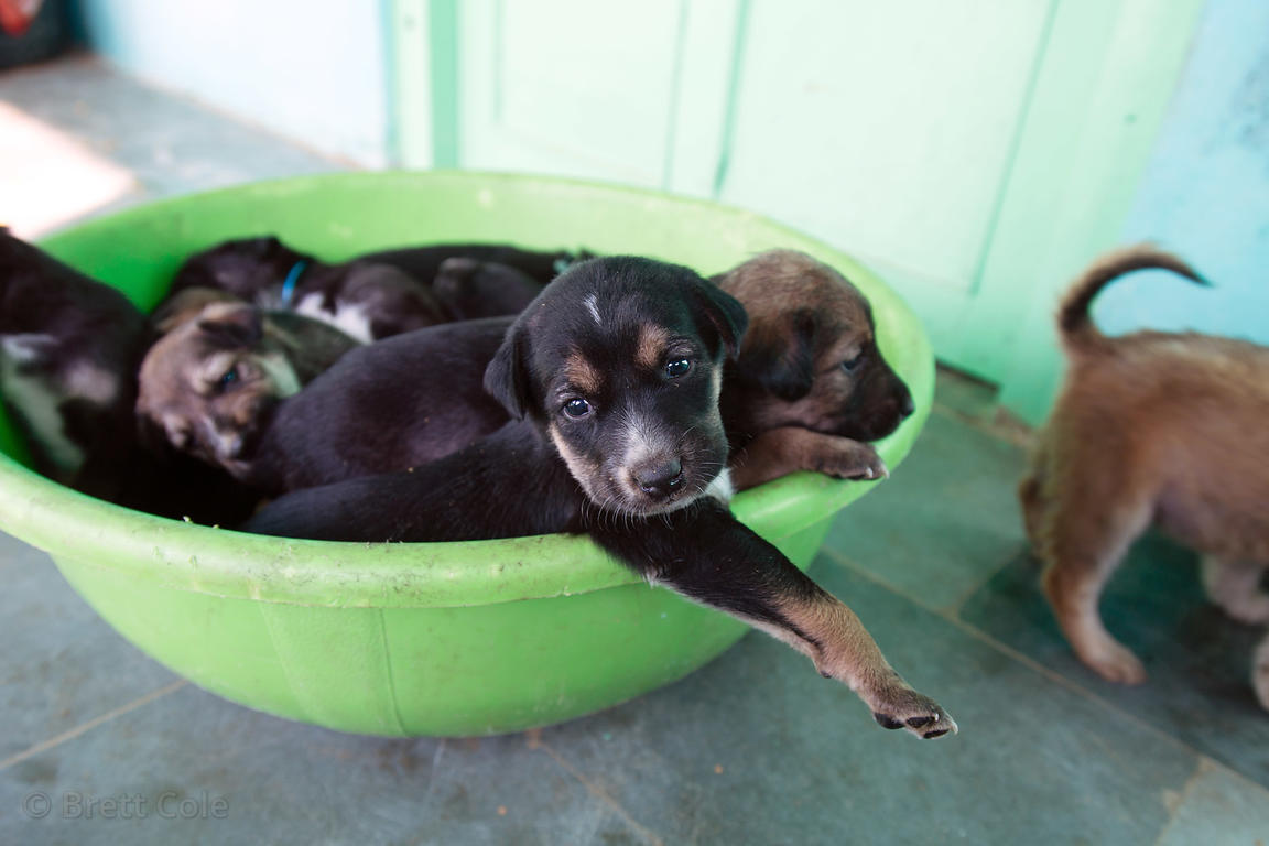 A bowlful of puppies at the Tree of Life for Animals rescue center (tolfa.org.uk) near Pushkar, Rajasthan, India