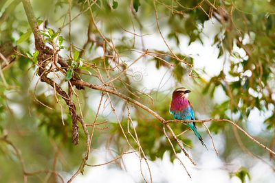 Lilc Breasted Roller Bird in Tree
