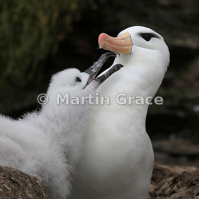 Black-Browed Albatross (Thalassarche melanophrys) nestling soliciting food from its parent, The Rookery, Saunders Island