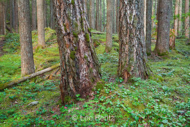 Forest along Trail to Royal Basin in Olympic National Park