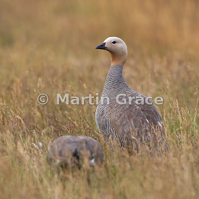 Male Ruddy-Headed Goose (Chloephaga rubidiceps) stands guard while his mate feeds, Darwin, East Falkland