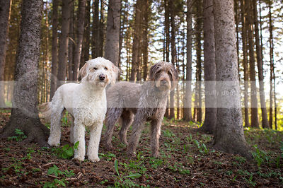 two large scruffy dogs staring standing together in pine trees