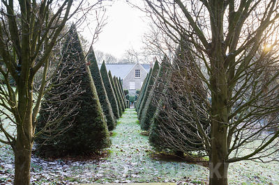 Clipped yew pyramids mark the central axis of the garden leading toward the house.