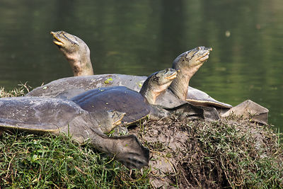 Giant tortoise (Aldabrachelys elephantina), Keoladeo National Park, Bharatpur, India