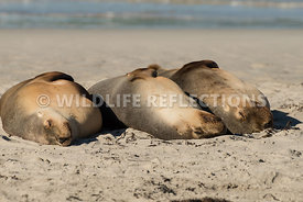 sea_lion_australian_triple_nap-6