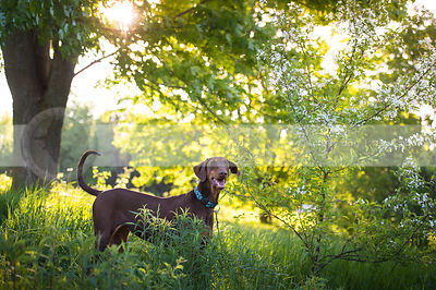 red and tan doberman dog standing in sunshine with trees
