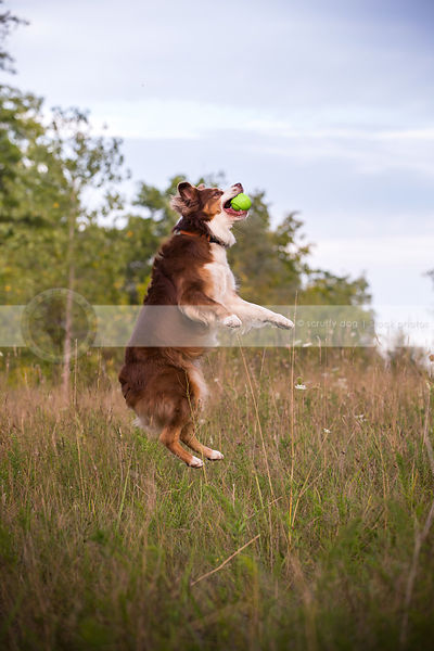 airborn red and white dog leaping jumping catching ball in field