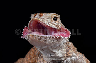 Secret Toadhead Agama (Phrynocephalus mystaceus) photos