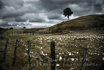 Rural farm fields with white kumar sweet potatoes lying on the ground, surrounded by rough, skew, rustic pole-and-wire fences, single, lone tree standing on a grassy hill, dark grey moody clouds in sky.
