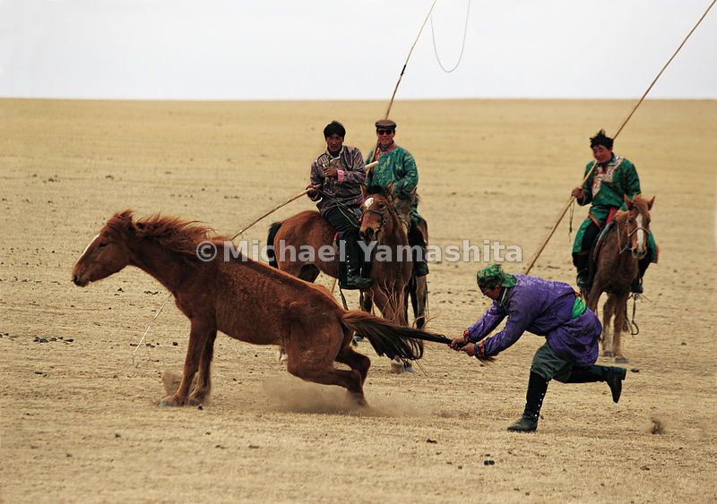 "Hands-on wrangling speeds a round up on the plains of Inner Mongolia. The high place of horses in Mongol life reached to the court of ruler Kublai Khan. Marco, a favored courier, reported that Kublai once received as a gift ""more than 100,000 white horses very beautiful and fine."""