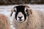 Close up of a Swaledale ewe.