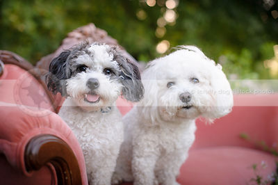 two little groomed dogs staring from pink settee outdoors in summer